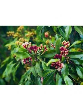 Gvazdikėlių lapų eterinis aliejus (10 ml)