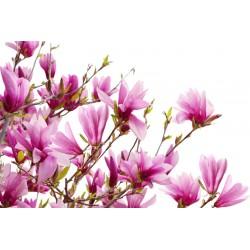 Magnolijų kvapnusis aliejus...