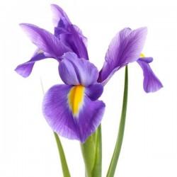 Irisų žiedų kvapnusis...